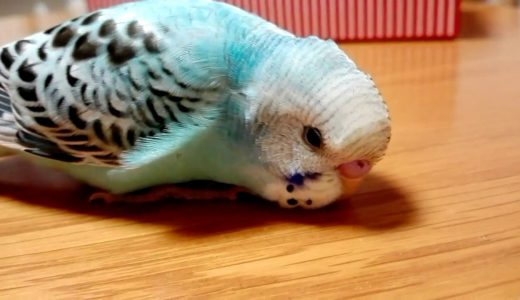 Funny Parrots.可愛すぎる!何度も手の中に入りたがる、雛の時の豆太。